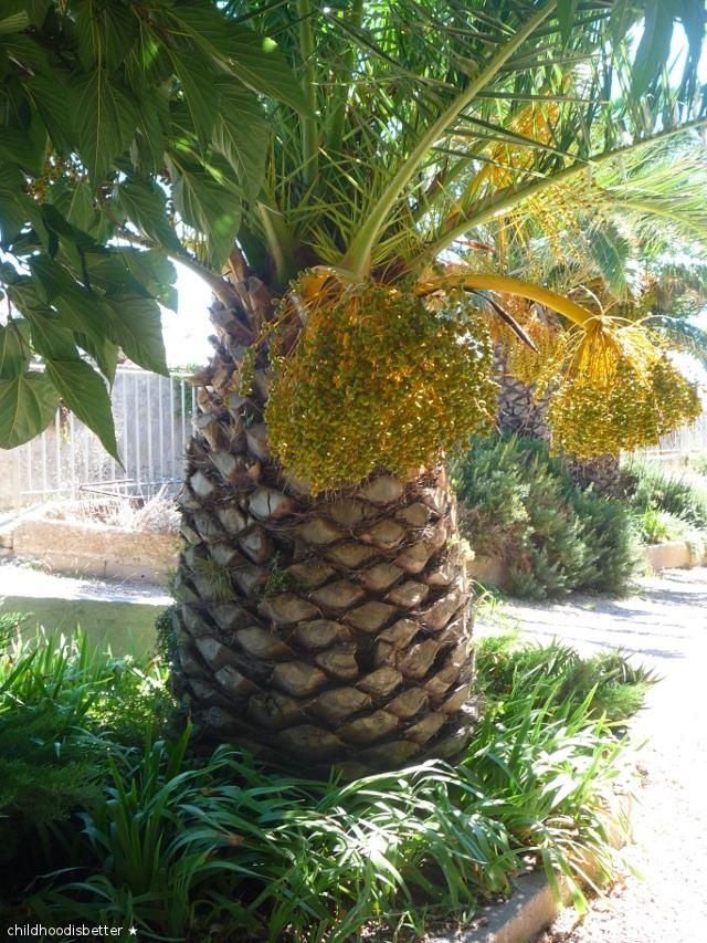 palmier-bastion-de-letendard